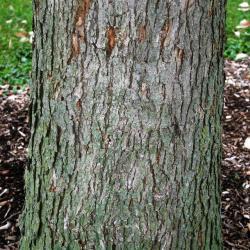 Quercus bicolor (Swamp White Oak), habitat