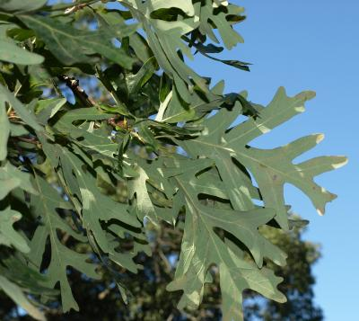 Quercus alba (White Oak), leaf, lower surface