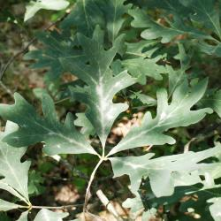 Quercus alba (White Oak), leaf, winter