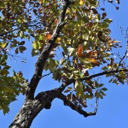 Quercus dentata 'Pinnatifida' (Cut-leaved Daimyo Oak), habit, fall