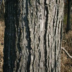 Quercus bicolor (Swamp White Oak), habit, spring