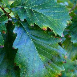 Quercus bicolor (Swamp White Oak), fruit, immature