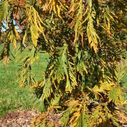 Quercus dentata (Daimyo Oak), gall, leaf