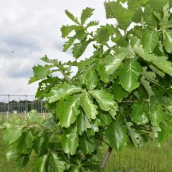 Quercus dentata 'Pinnatifida' (Cut-leaved Daimyo Oak), leaf, new