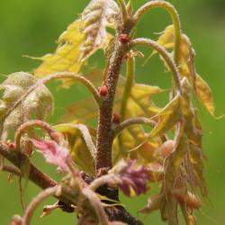 Quercus dentata (Daimyo Oak), leaf, upper surface