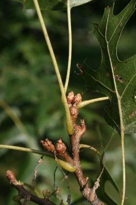 Quercus ellipsoidalis (Hill's Oak), bud, lateral
