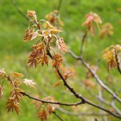 Quercus gambelii (Gambel's Oak), leaf, lower surface