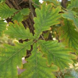 Quercus imbricaria (Shingle Oak), bud, terminal