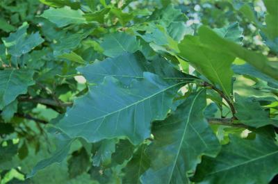 Quercus bicolor (Swamp White Oak), leaf, summer