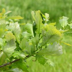 Quercus ilicifolia (Bear Oak), bark, twig