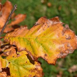Quercus hartwissiana (Hartwiss' Oak), habit, fall