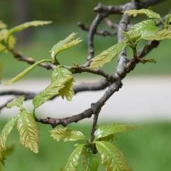 Quercus buckleyi (Buckley's Oak), leaf, spring