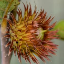 Quercus dentata (Daimyo Oak), leaf, spring