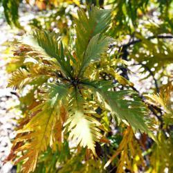 Quercus dentata (Daimyo Oak), habit, fall