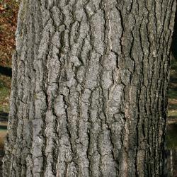 Quercus ellipsoidalis (Hill's Oak), habit, summer
