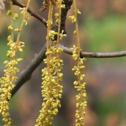 Quercus gambelii (Gambel's Oak), habit, summer