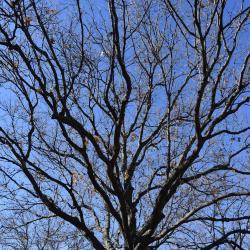 Quercus falcata (Southern Red Oak), leaf, upper surface
