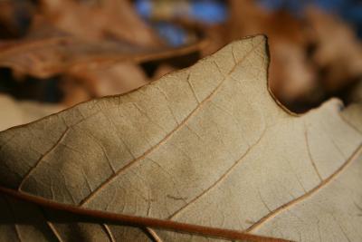 Quercus bicolor (Swamp White Oak), leaf, lower surface
