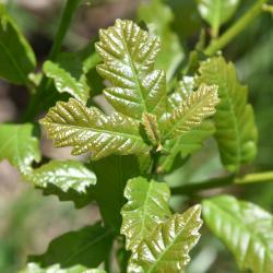 Quercus ilicifolia (Bear Oak), acorn cap