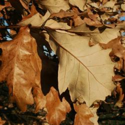 Quercus dentata (Daimyo Oak), fruit, immature