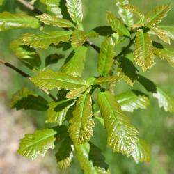 Quercus ilicifolia (Bear Oak), habit, fall