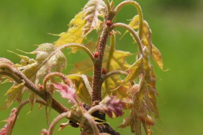 Quercus buckleyi (Buckley's Oak), flower, pistillate