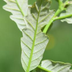 Quercus hartwissiana (Hartwiss' Oak), leaf, upper surface