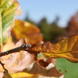 Quercus dentata (Daimyo Oak), leaf, lower surface