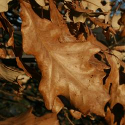 Quercus dentata (Daimyo Oak), leaf, fall