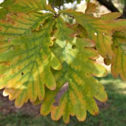 Quercus imbricaria (Shingle Oak), flower, pistillate