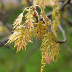 Quercus gambelii (Gambel's Oak), leaf, summer