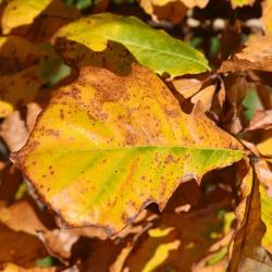 Quercus hartwissiana (Hartwiss' Oak), bud, terminal
