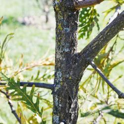 Quercus dentata (Daimyo Oak), bark, trunk