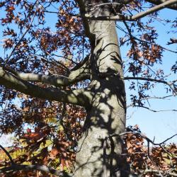 Quercus ellipsoidalis (Hill's Oak), leaf, fall