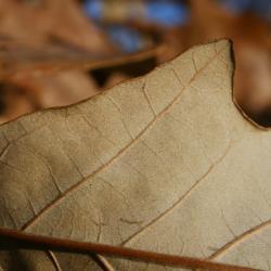 Quercus buckleyi (Buckley's Oak), inflorescence