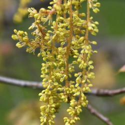 Quercus falcata (Southern Red Oak), leaf, summer