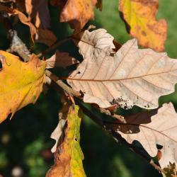 Quercus hartwissiana (Hartwiss' Oak), leaf, fall