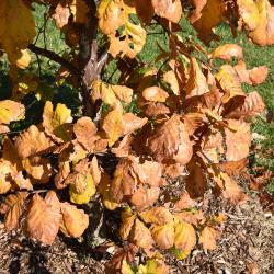 Quercus hartwissiana (Hartwiss' Oak), bark, trunk