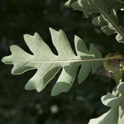 Quercus imbricaria (Shingle Oak), leaf, spring