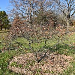 Quercus imbricaria (Shingle Oak), leaf, fall