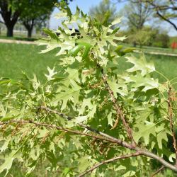 Quercus montana (Chestnut Oak), leaf, summer