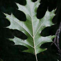 Quercus montana (Chestnut Oak), flower, pistillate