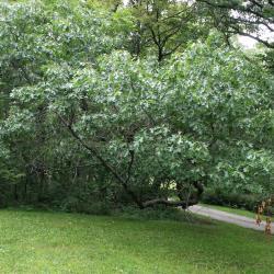 Quercus ellipsoidalis (Hill's Oak), leaf, upper surface