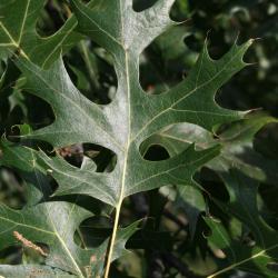 Quercus muehlenbergii (Chinkapin Oak), flower, staminate
