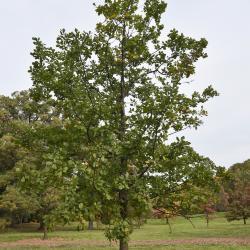 Quercus ilicifolia (Bear Oak), inflorescence