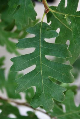 Quercus gambelii (Gambel's Oak), leaf, upper surface