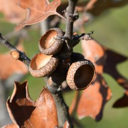 Quercus ilicifolia (Bear Oak), leaf, lower surface