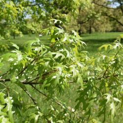 Quercus muehlenbergii (Chinkapin Oak), leaf, fall