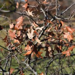 Quercus macrocarpa 'Eckman' (Eckman's Bur Oak), leaf, fall