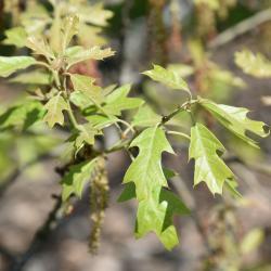 Quercus macrocarpa 'Eckman' (Eckman's Bur Oak), leaf, new
